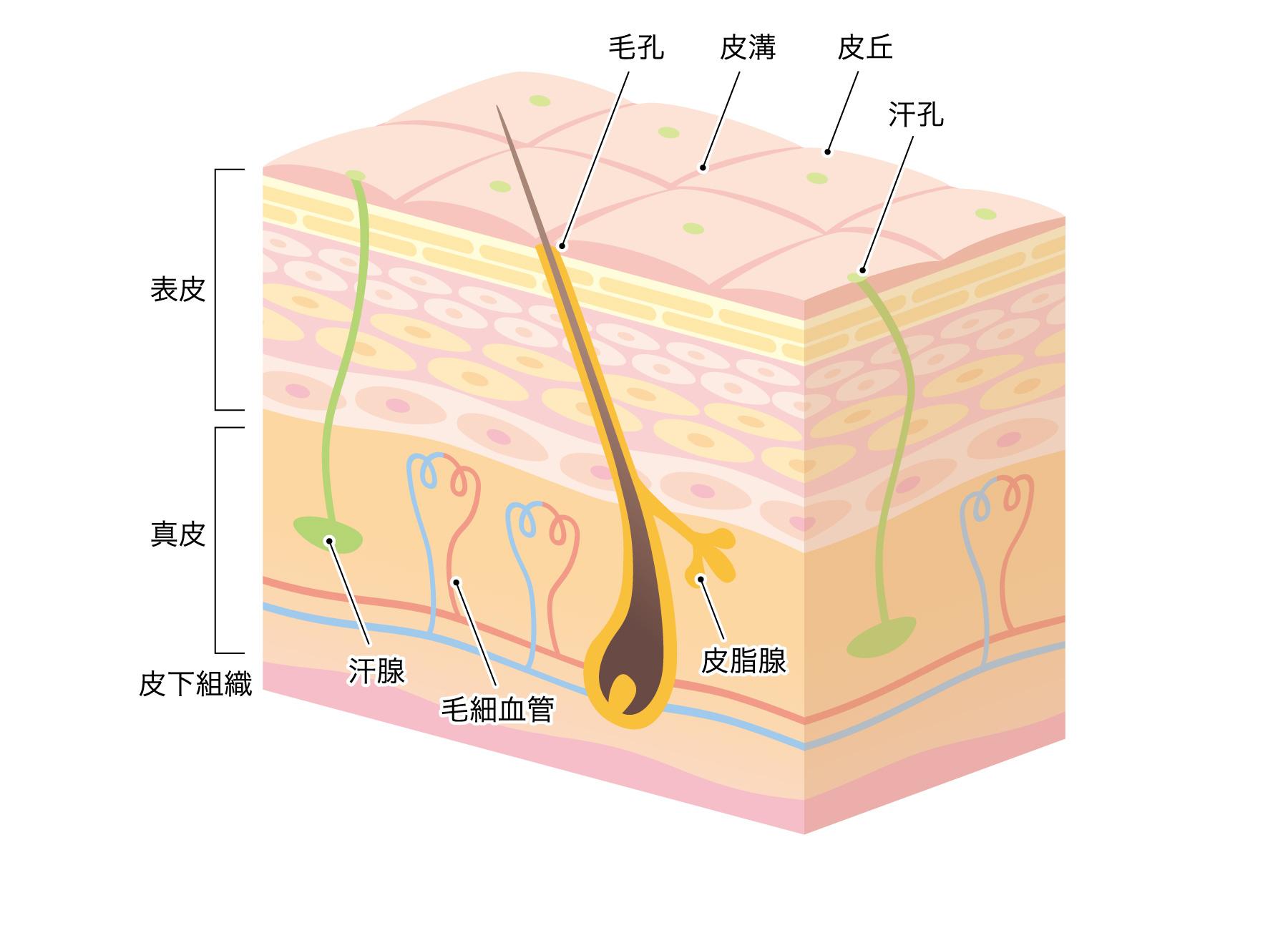 皮膚の構造